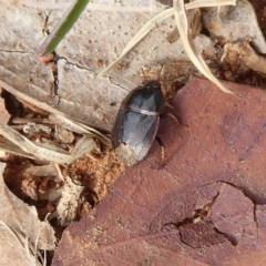 Cydnidae sp. (family) (Burrower bug) at Fyshwick, ACT - 5 Apr 2019 by Christine