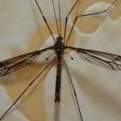 Ptilogyna sp. (genus) (A crane fly) at Spence, ACT - 5 Apr 2019 by Laserchemisty