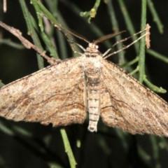 Ectropis excursaria (Common Bark Moth) at Mount Ainslie - 5 Apr 2019 by jbromilow50