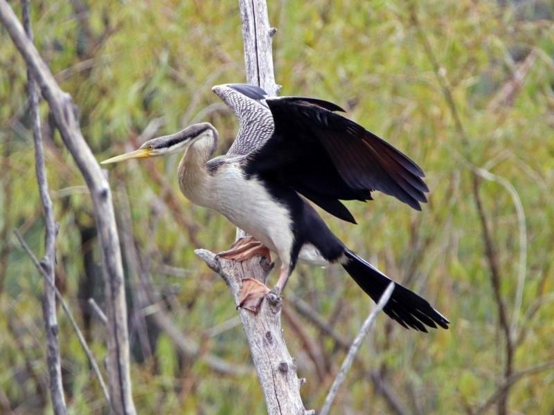 Anhinga novaehollandiae at Jerrabomberra Wetlands - 5 Apr 2019