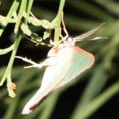 Chlorocoma (genus) (Emerald moth) at Mount Ainslie - 5 Apr 2019 by jbromilow50