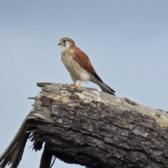 Falco cenchroides (Nankeen Kestrel) at Jerrabomberra Wetlands - 5 Apr 2019 by RodDeb