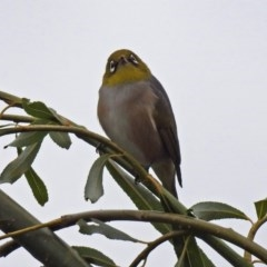 Zosterops lateralis (Silvereye) at Jerrabomberra Wetlands - 5 Apr 2019 by RodDeb