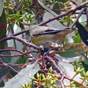 Pardalotus striatus at Jerrabomberra Wetlands - 5 Apr 2019