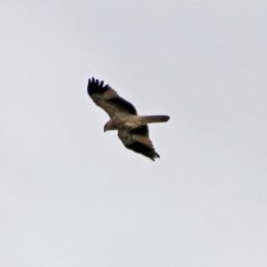 Haliastur sphenurus at Jerrabomberra Wetlands - 5 Apr 2019