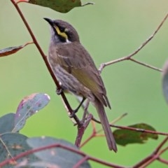 Caligavis chrysops (Yellow-faced Honeyeater) at Jerrabomberra Wetlands - 5 Apr 2019 by RodDeb