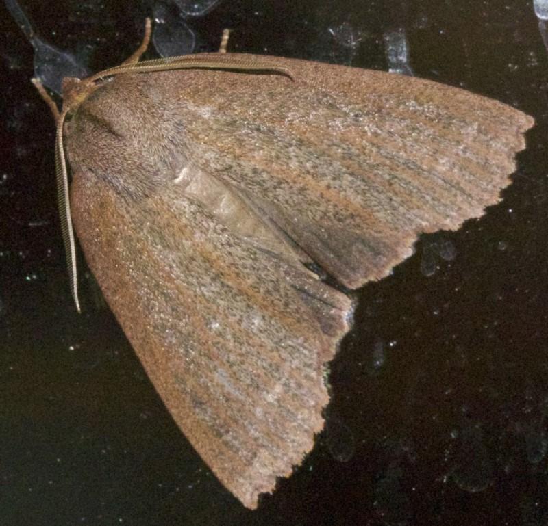 Paralaea porphyrinaria at Rosedale, NSW - 1 Jun 2018