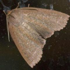 Paralaea porphyrinaria (Paralaea porphyrinaria) at Rosedale, NSW - 1 Jun 2018 by jbromilow50