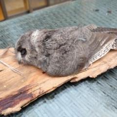 Aegotheles cristatus (Australian Owlet-nightjar) at Greenleigh, NSW - 6 Apr 2019 by LyndalT