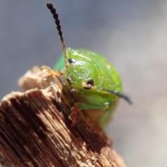 Calomela pallida (Leaf beetle) at Spence, ACT - 7 Apr 2019 by Laserchemisty