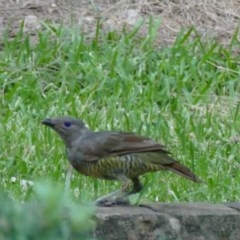 Ptilonorhynchus violaceus (Satin Bowerbird) at Rivendell Mimosa Park Road - 4 Feb 2019 by vivdavo