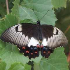 Papilio aegeus (Orchard Swallowtail) at Conder, ACT - 8 Mar 2019 by michaelb