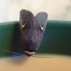 Proteuxoa cinereicollis (A noctuid or owlet moth) at Spence, ACT - 7 Apr 2019 by Laserchemisty