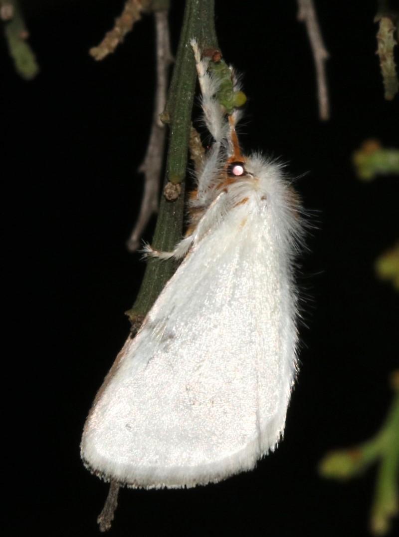 Lymantriinae (subfamily) at Ainslie, ACT - 10 Mar 2019