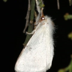 Lymantriinae (subfamily) (Unidentified tussock moths) at Ainslie, ACT - 10 Mar 2019 by jbromilow50