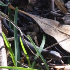Pseudemoia entrecasteauxii (Woodland Tussock-skink) at Paddys River, ACT - 7 Apr 2019 by Christine