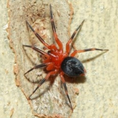 Nicodamidae sp. (family) (Red and Black Spider) at ANBG - 7 Apr 2019 by TimL