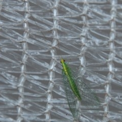 Mallada traviatus (Goldeneye Lacewing) at Chapman, ACT - 8 Apr 2019 by SWishart