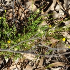 Calotis lappulacea (Yellow burr daisy) at Stony Creek - 7 Apr 2019 by Mike