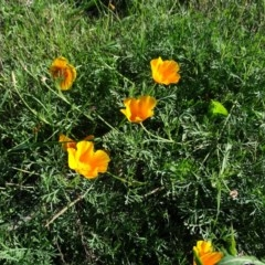 Eschscholzia californica (California Poppy) at Cotter Reserve - 7 Apr 2019 by Mike