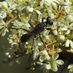Isodontia sp. (genus) (Unidentified Grass-carrying wasp) at Paddys River, ACT - 20 Feb 2019 by michaelb