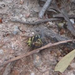 Vespula germanica (European wasp) at Tidbinbilla Nature Reserve - 7 Apr 2019 by Christine