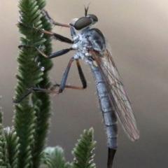 Cerdistus sp. (genus) (Robber fly) at Majura, ACT - 26 Jan 2019 by jbromilow50