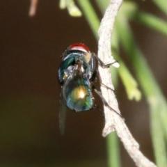Chrysomya sp. (genus) (A green/blue blowfly) at Majura, ACT - 5 Apr 2019 by jbromilow50