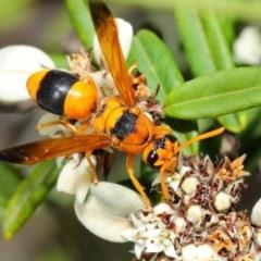 Abispa ephippium (Potter wasp, Mason wasp) at ANBG - 7 Apr 2019 by TimL