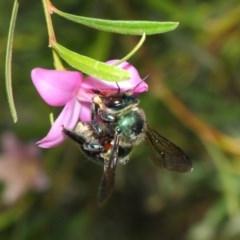 Xylocopa aeratus (Metallic Green Carpenter Bee) at ANBG - 9 Apr 2019 by TimL
