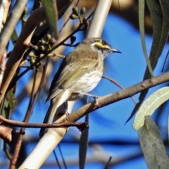 Caligavis chrysops (Yellow-faced Honeyeater) at Tidbinbilla Nature Reserve - 8 Apr 2019 by RodDeb