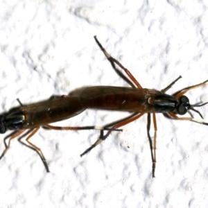 Evansomyia sp. (genus) at Ainslie, ACT - 30 Nov 2018