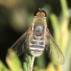 Villa sp. (genus) (Unidentified Villa bee fly) at Mount Ainslie - 11 Feb 2019 by jbromilow50