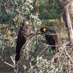 Zanda funereus (Yellow-tailed Black-Cockatoo) at Federal Golf Course - 7 Apr 2019 by JackyF