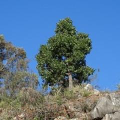 Brachychiton populneus subsp. populneus (Kurrajong) at Bullen Range - 9 Apr 2019 by Mike