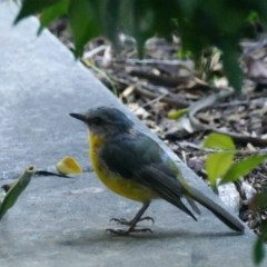 Eopsaltria australis (Eastern Yellow Robin) at Rivendell Mimosa Park Road - 8 Feb 2019 by vivdavo