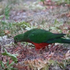 Alisterus scapularis (Australian King-Parrot) at Deakin, ACT - 13 Mar 2019 by LisaH