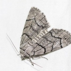 Stibaroma undescribed species (A Line-moth) at Black Mountain - 8 Apr 2019 by AlisonMilton