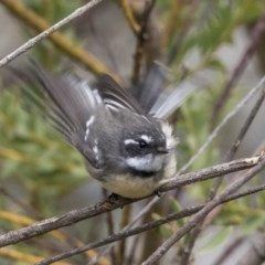 Rhipidura fuliginosa (Grey Fantail) at Higgins, ACT - 30 Mar 2019 by Alison Milton
