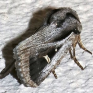 Proteuxoa undescribed species near paragypsa at Ainslie, ACT - 9 Apr 2019