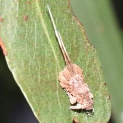 Platybrachys sp. (genus) at Ainslie, ACT - 9 Apr 2019