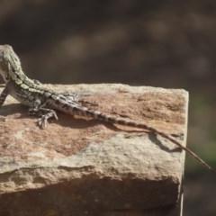 Amphibolurus muricatus (Jacky Lizard) at Sutton, NSW - 29 Jan 2019 by Whirlwind