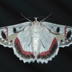 Crypsiphona ocultaria (Red-lined Looper Moth) at Evatt, ACT - 25 Mar 2019 by TimL
