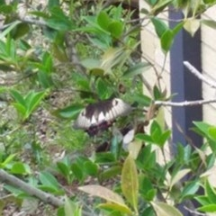 Papilio aegeus (Orchard Swallowtail) at Spence, ACT - 7 Jan 2019 by Watermilli