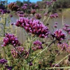 Verbena incompta (Purpletop) at Pine Island to Point Hut - 31 Mar 2019 by Speedsta