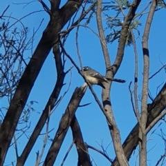 Rhipidura fuliginosa (Grey Fantail) at Pine Island to Point Hut - 31 Mar 2019 by Speedsta