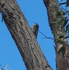 Cormobates leucophaea (White-throated Treecreeper) at Mount Jerrabomberra - 31 Mar 2019 by Speedsta