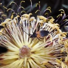 Oncopeltus (Oncopeltus) sordidus (Milk vine bug) at ANBG - 10 Apr 2019 by RodDeb