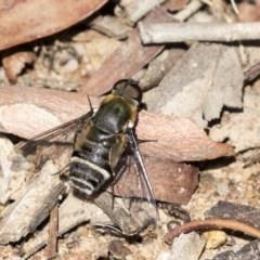 Villa sp. (genus) (Unidentified Villa bee fly) at Higgins, ACT - 31 Mar 2019 by AlisonMilton