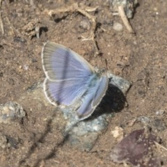 Zizina otis (Common Grass-blue) at Higgins, ACT - 31 Mar 2019 by AlisonMilton